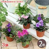 セントポーリア 花色おまかせ 2号(3鉢)