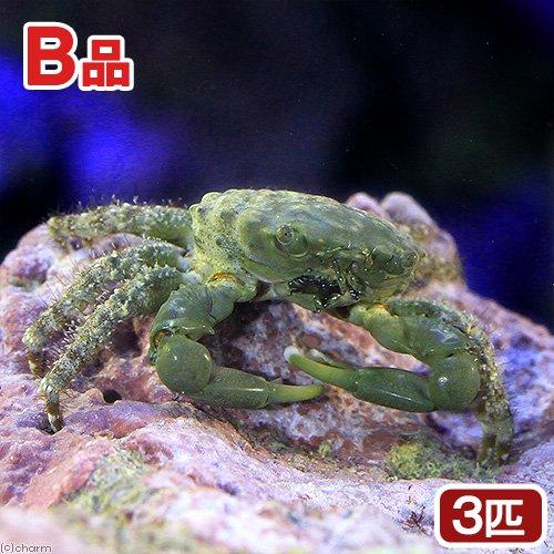 (海水魚)カニ (B品)エメラルドグリーンクラブ(3匹)