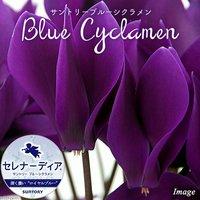 ブルーシクラメン セレナーディア ロイヤルブルー 4号(1鉢)