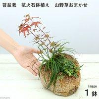 苔盆栽 抗火石鉢寄せ植え おまかせ山野草3種 (1鉢)