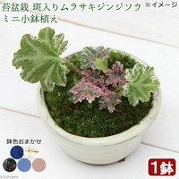 苔盆栽 斑入りムラサキジンジソウ(斑入紫人字草) ミニ小鉢植え 鉢色おまかせ(1鉢)