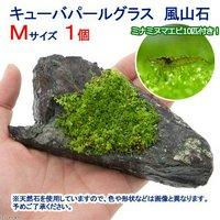 (水草)ミナミヌマエビ(10匹)+キューバパールグラス 風山石 Mサイズ(約14cm)(無農薬)(1個)