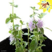 ハーブ苗 ミント ペニーロイヤルミント 3号(1ポット) 虫除け植物 家庭菜園