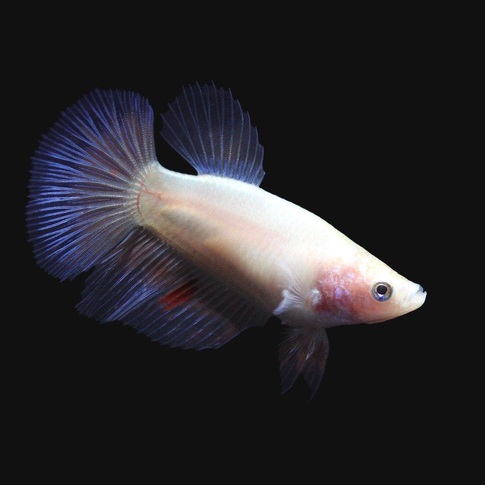 (熱帯魚)ベタ・ハーフムーン 色指定なし(メス)(1匹) 北海道・九州・沖縄航空便要保温