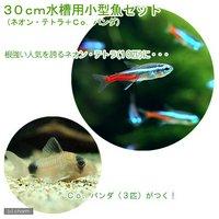 30cm水槽用小型魚セット(ネオンテトラ10匹+Co.パンダ3匹)
