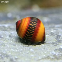 ゴシキカノコ貝(5匹)