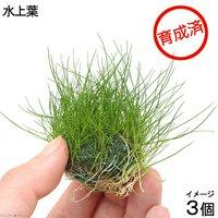 育成済 ヘアーグラスショートボール(水上葉)(無農薬)(3個)