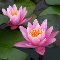 睡蓮 温帯性睡蓮(スイレン)(桃) ピンクセンセーション Pink SenSation (1ポット)