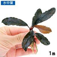 ブセファランドラsp.バタンカワ(無農薬)(1株)