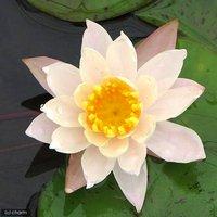 睡蓮 温帯性睡蓮(スイレン)(桃) ピーチ リリー Peace Lily (1ポット)