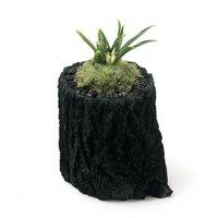 苔盆栽 炭鉢植え 品種系オモト 群雀 Sサイズ(1鉢)