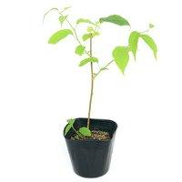 盆栽 またたびの苗 3~4号(3ポット) 家庭菜園