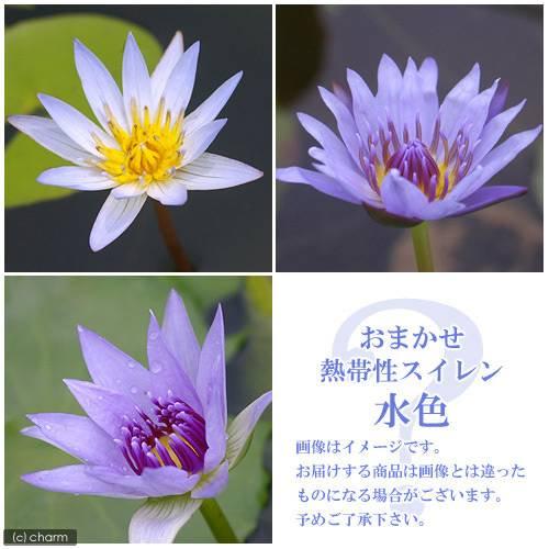 (ビオトープ)睡蓮 おまかせ熱帯性品種睡蓮(スイレン) 青系(1ポット)(休眠株)
