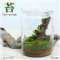 苔Terrarium マメヅタ ガラスボトルL 説明書付