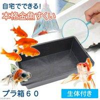 自宅でできる 本格金魚すくい プラ箱60 金魚袋+ポイ+金魚生体付き