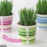 ペットグラス 燕麦 うさぎの草 直径8cmECOポット植え(無農薬)(鉢カバー付きグリーン)(1セット) おやつ