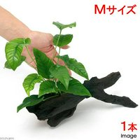 アヌビアス バルテリー ストライプ 流木付 Mサイズ(1本)(約20cm)