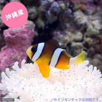 沖縄産 ナミクマノミ Sサイズ(ワイルド)(1匹)