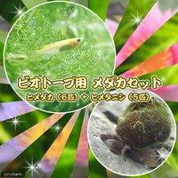 ビオトープ用 メダカ初心者セット ヒメダカ(6匹) +ヒメタニシ(5匹)