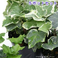 ヘデラ(アイビー)(品種おまかせ) 3号(5ポット) 北海道冬季発送不可