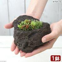 苔盆栽 ハエトリソウ 溶岩石鉢植え(1鉢)