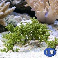 海藻 ヨレヅタ(1房)