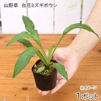 白花ミズギボウシ(白花水擬宝珠) 2.5号(1ポット) (休眠株)