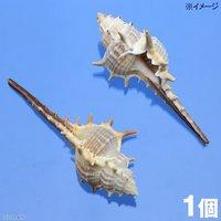 貝殻 シェルコレクション アッキガイsp.ロング(1個)(形状おまかせ)