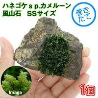 巻きたて ハネゴケsp.カメルーン産 風山石 SSサイズ(8cm以下) (無農薬)(1個)