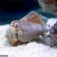 貝 マガキ貝 SSサイズ(1匹)