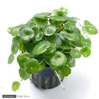 ミニマッシュルーム(トロピカポット)(無農薬)(1ポット分)