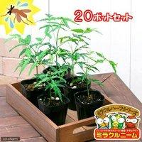ハーブ苗 ハーブ苗 ニーム ミラクルニーム(インドセンダン) 3号(20ポット)  虫除け植物