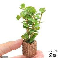 ライフマルチ(茶) ロタラsp.セイロン(水上葉)(無農薬)(2個)