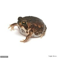 アメフクラガエル 南アフリカ産(1匹)