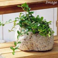 苔盆栽 フィカス シャングリラ(つる性ガジュマル) 抗火石鉢植え Mサイズ(1鉢)