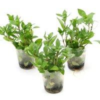 発根済ポット 植えるくん ハイグロフィラ ポリスペルマ(水上葉)(無農薬)(1ポット)