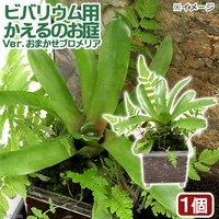 ビバリウム用 かえるのお庭 Ver.おまかせブロメリア(無農薬)(1個)