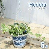 ヘデラ(アイビー)(品種おまかせ) 5号(1鉢)(吊り鉢タイプ)
