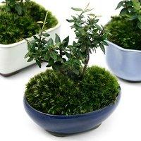 苔盆栽 チリメンカズラ おまかせ色小鉢(1鉢)