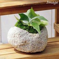 苔盆栽 コウモリラン 抗火石鉢植え Mサイズ(1鉢)