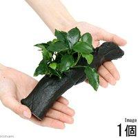 アヌビアスナナ ロング ウェーブリーフ 流木付 Mサイズ(1本)(約20cm)
