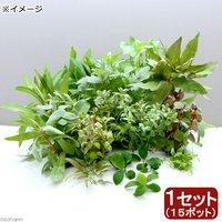おまかせ水草ミニポット レイアウトセット(水上葉)(1セット)(無農薬)