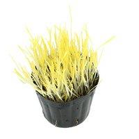 不思議な食感 やみつきスーダングラス 直径8cmECOポット植え(無農薬)(1ポット) 猫草