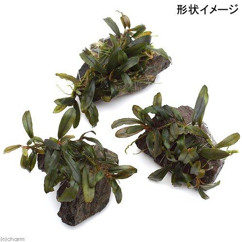 (水草)巻きたて ブセファランドラsp.クアラクアヤン1付き風山石 ミニ(無農薬)(1個)