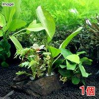 流木 ザ ボンサイ Ver.エキノドルス&アヌビアスナナ Sサイズ(水上葉)(1本)(約15cm)