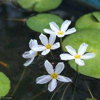 水辺植物 バナナプラント(殖芽無)(1ポット)浮葉植物