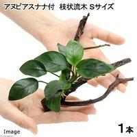 枝状流木 Sサイズ アヌビアスナナ付(1本)(10cm~)