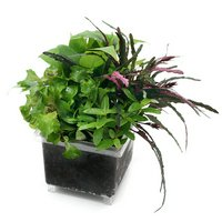 ビバリウム用 かえるのお庭 おまかせ寄植え(水上葉)(無農薬)(1個)