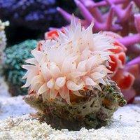 ウチウラタコアシサンゴ ホワイト(1個) 海水魚