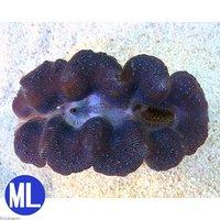 ヒメシャコガイ ブルー MLサイズ(1匹)